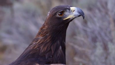 Tight shot of golden eagle's head.