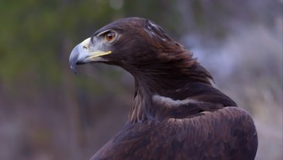 Tight shot of golden eagle's head. Tilt down to body and feathers.