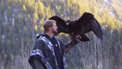 Golden eagle perched on falconer's glove.