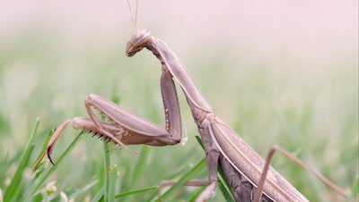 Praying mantis in grass brushed by a finger.
