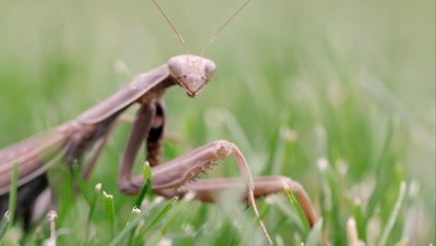 Praying mantis in green grass.