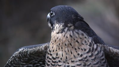 Tight shot of peregrine falcon's head as it looks around.