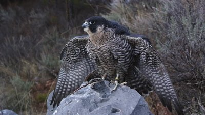 Tethered peregrine falcon perched on a rock.