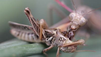 Tight shot of a praying mantis crawling out of frame.