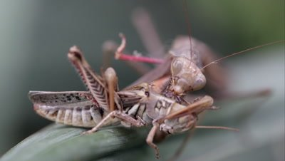 Tight shot of a praying mantis eating a grasshopper while on a leaf.