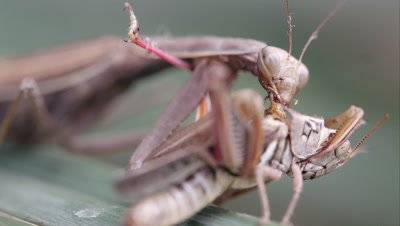 Tight shot of a praying mantis devouring a grasshopper.