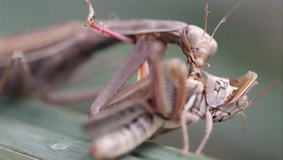 Tight shot of a praying mantis devouring a grasshopper while on a leaf.
