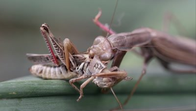 Tight shot of a praying mantis chewing on a grasshopper.