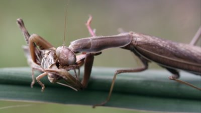 Tight shot of a grasshopper of being eaten by a praying mantis.