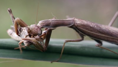 Tight shot of a grasshopper of being devoured by a praying mantis.