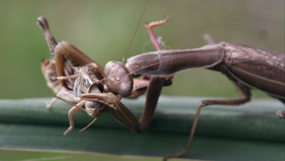 Tight shot of a praying mantis chewing on a grasshopper neck.