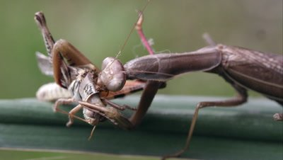 Tight shot of a praying mantis chewing on a grasshopper's neck.