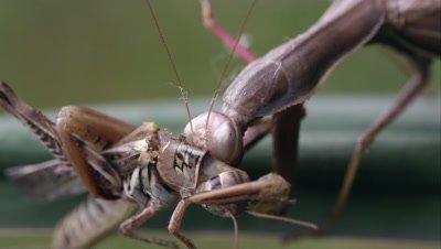 Shot of praying mantis chewing on grasshopper.