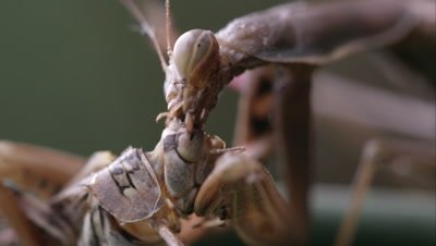 Close up shot of a praying mantis eating a grasshopper head.