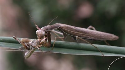 Praying mantis on a leaf eating a grasshopper.