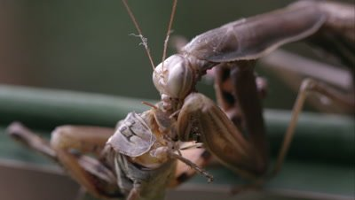 Extreme tight shot of praying mantis eating a grasshopper's head.