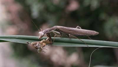 Praying mantis eating a grasshopper on a green leaf.