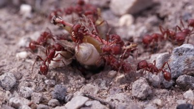 Swarm of fire ants attacking grasshopper.