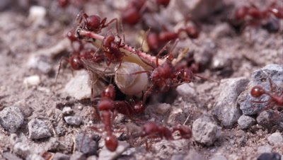 Many fire ants attacking grasshopper.