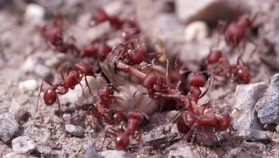 Fire ants swarming a grasshopper.