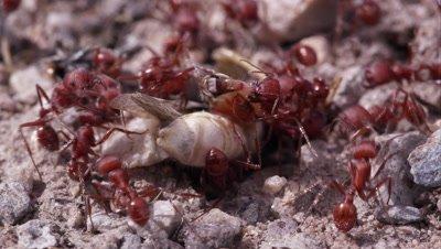 Fire ants swarming grasshopper.