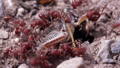 Red fire ants swarming grasshopper.