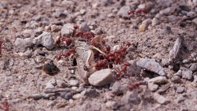 Two dozen fire ants swarming a grasshopper.