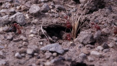 Fire ants moving in and out of tunnel.