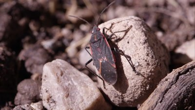 Box elder bug crawling around.