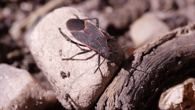 Box elder bug crawls out of frame.
