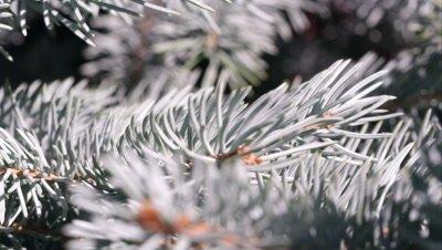 Macro shot of douglas fir bows.