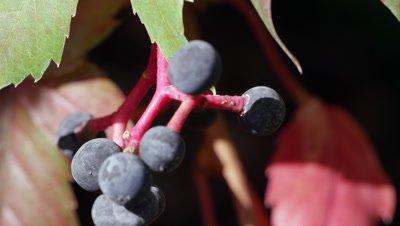 Macro shot of pokeberries.