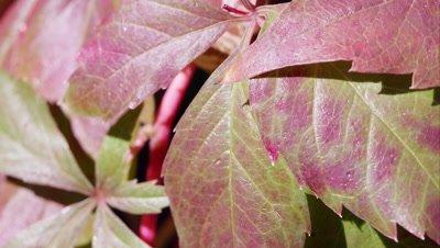 Macro shot of red leaves.