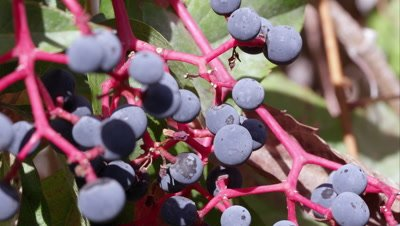 Tight shot of pokeberries.
