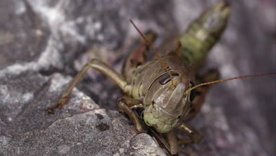 Macro shot of a grasshopper, and an ant crawling in the background.