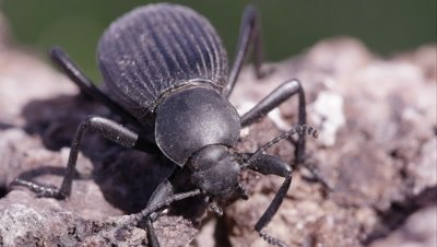 Macro shot of black ground beetle.