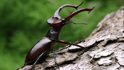Tight shot of a Elephant Stag Beetle on some tree bark.