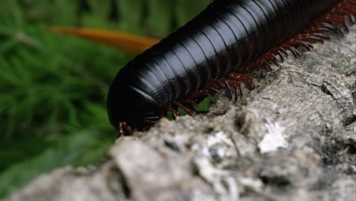 Macro shot of a giant African black millipede on some bark.