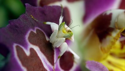 An Orchard Mantis on a colorful flower.