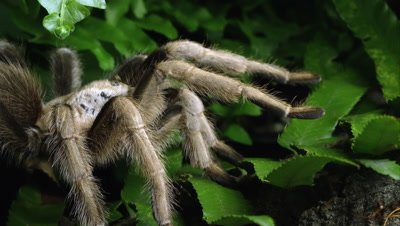 Arizona Blond Tarantula crawling over some leaves.