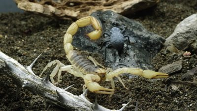 Desert Hairy Scorpion and Blue Death Feigning Beetle.