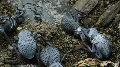 Half a dozen Blue Death Feigning Beetles, two of which are feigning death.