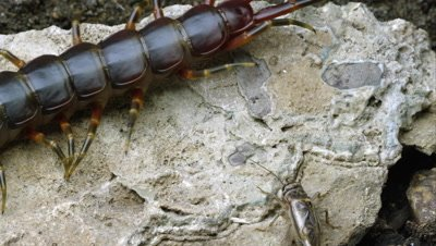 Extreme close shot of a Peruvian Giant Centipede crawling on a rock. Another bug crawls by.