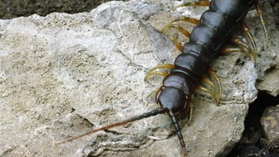 Extreme close shot of a Peruvian Giant Centipede crawling on a rock.