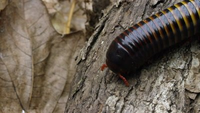 Extreme close up of an African Strap Millipede crawling on some bark.