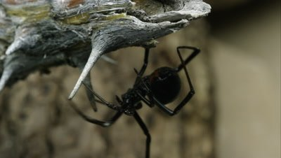Western Black Widow crawling around on a stick.