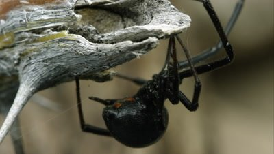 Tight shot of a Western Black Widow weaving a web.
