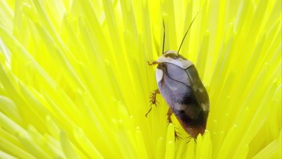 Centurion Roach on a bright yellow flower.