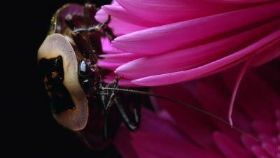 Extreme tight shot of a Death's Head Cockroach crawling on the edge of a pink flower.