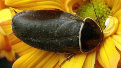 Simandoa cave roach on a yellow flower.